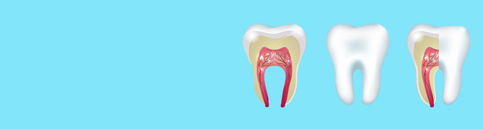 vector image of transverse dissection of tooth to show root